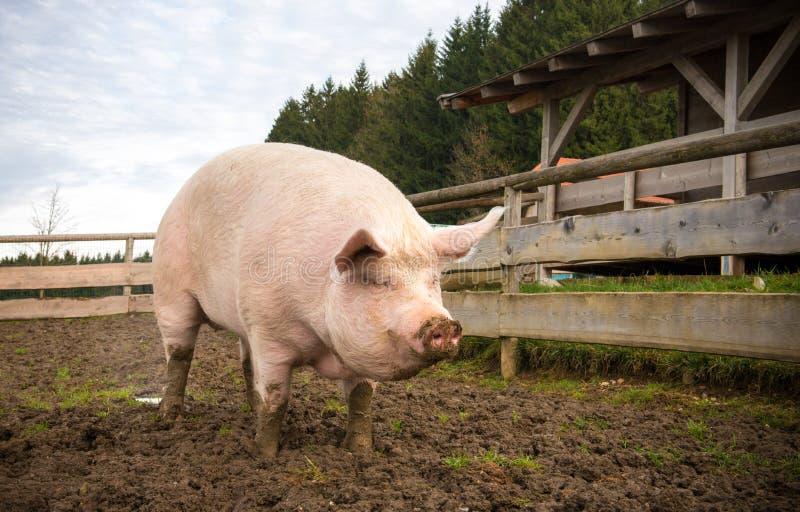 Schwein auf einem Bauernhof lizenzfreie stockfotografie