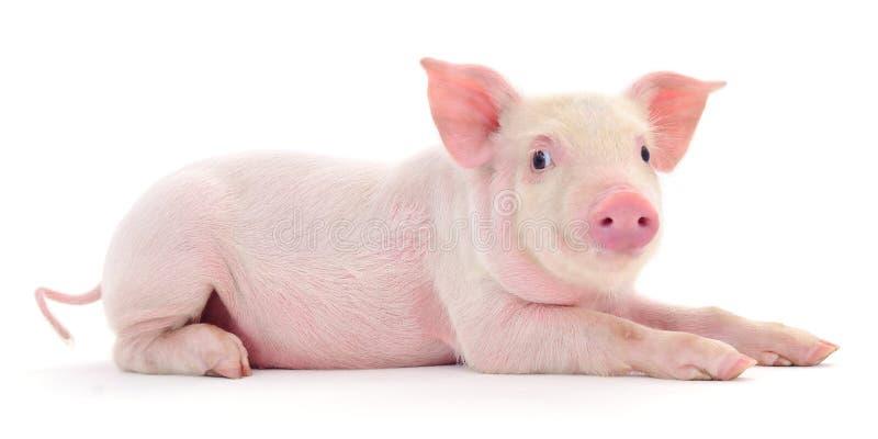 Schwein auf Weiß stockbilder