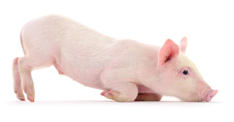 Schwein auf Weiß lizenzfreies stockbild