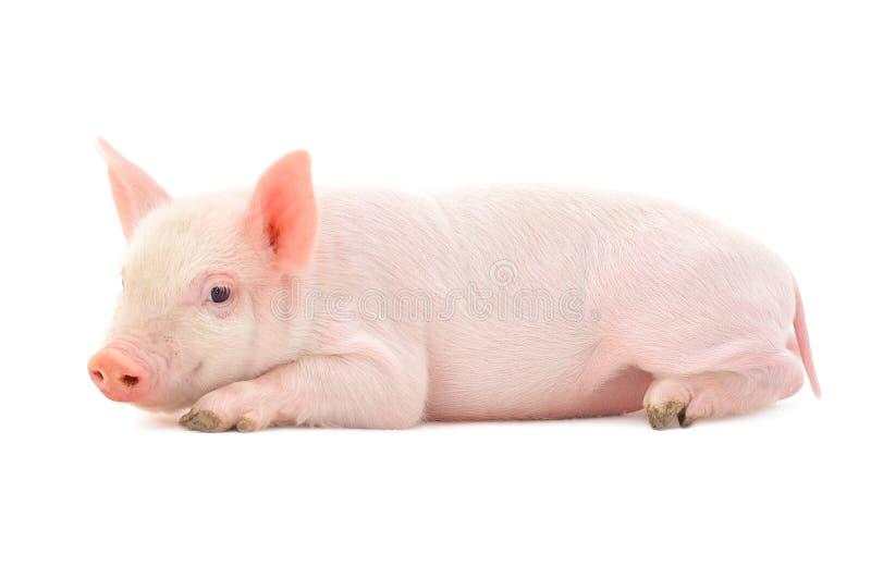Schwein auf Weiß stockfotografie