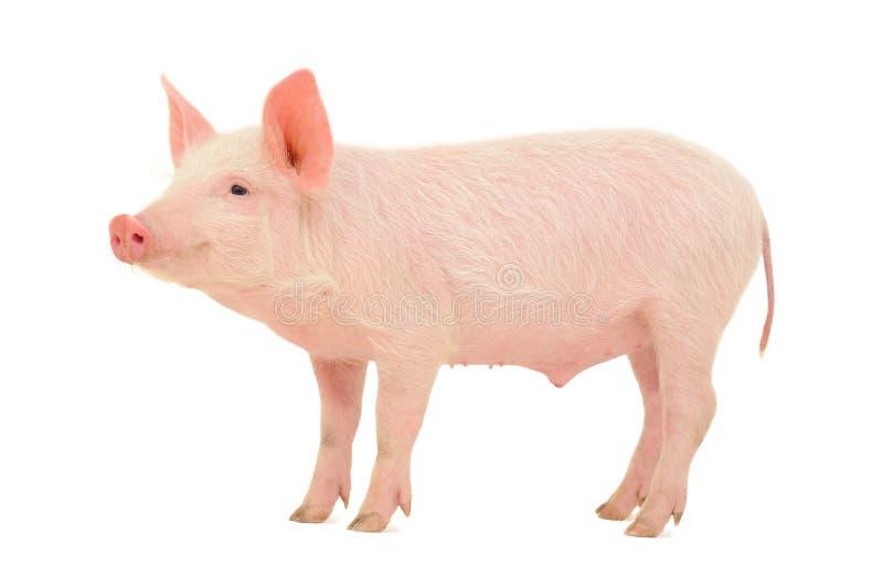 Schwein auf Weiß lizenzfreie stockfotos