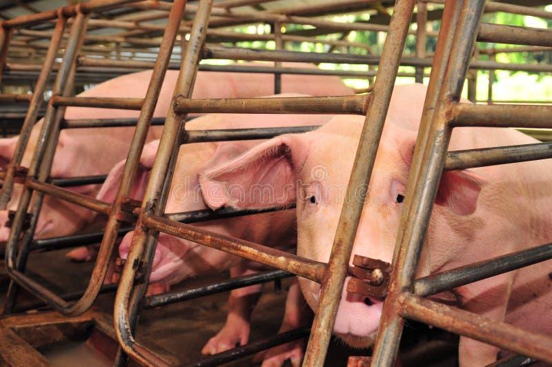 Schwein-Bauernhof lizenzfreie stockfotografie