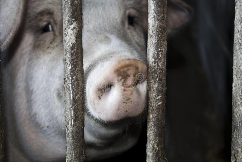 Schwein in einem Stall lizenzfreie stockfotos