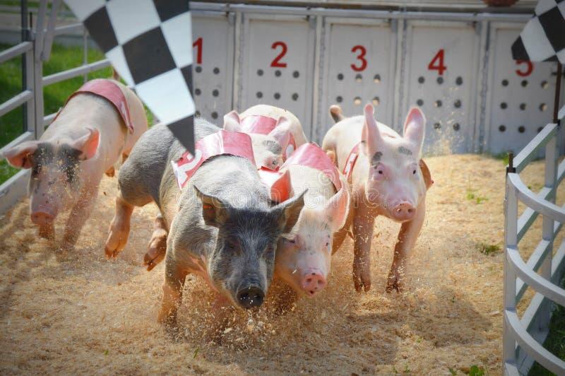 Schwein-Rennen an der Messe stockfotos