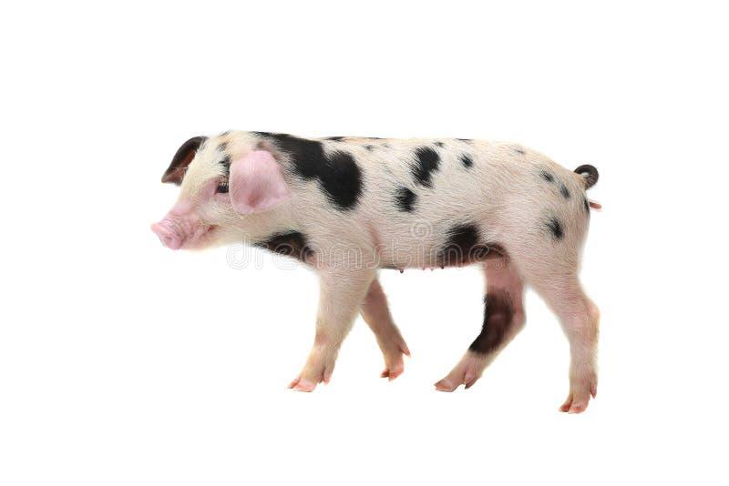 Schwein weiß-schwarz stockbild