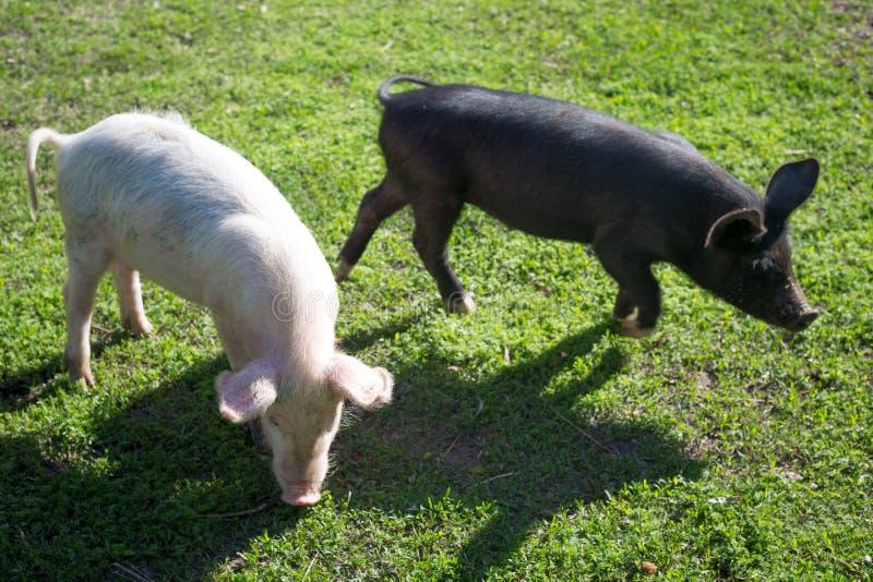 schweine lizenzfreies stockfoto