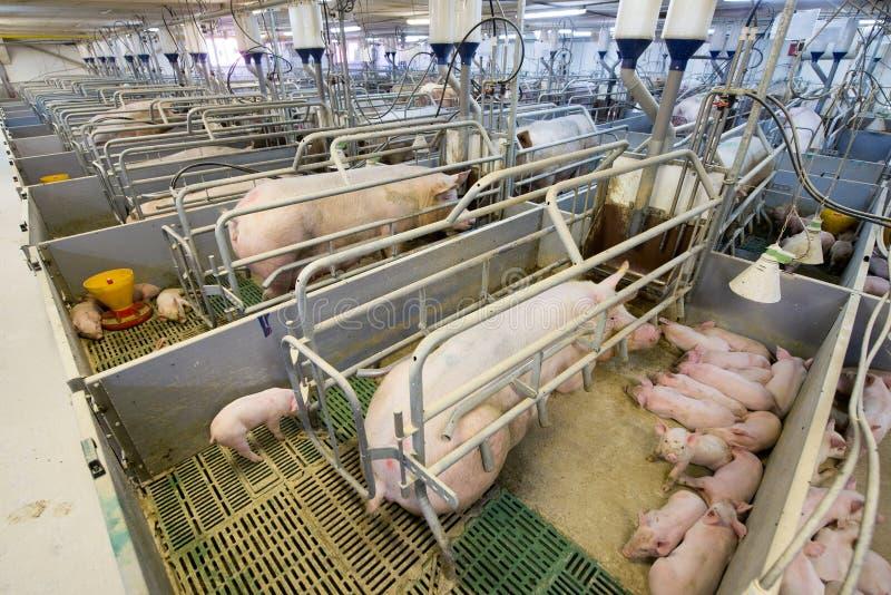 Schweine af eine Fabrik stockfoto