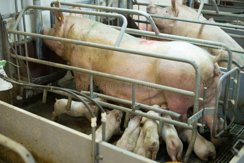 Schweine af eine Fabrik lizenzfreies stockbild