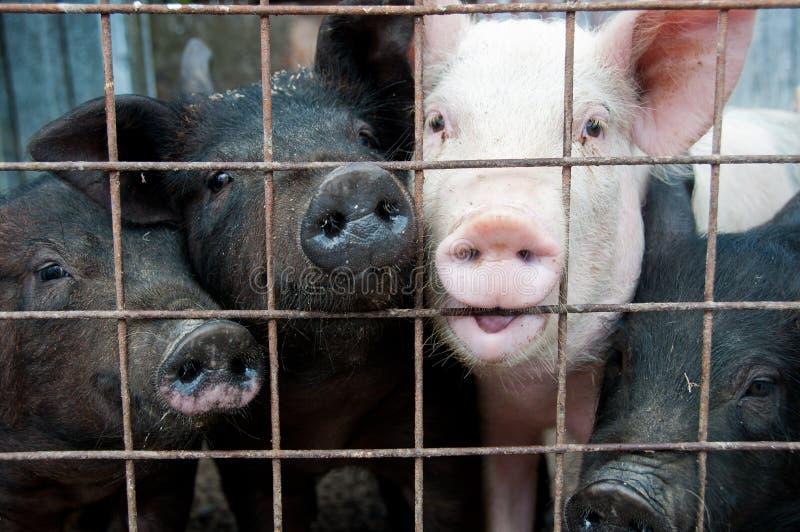 Schweine in den Rahmen lizenzfreie stockfotos