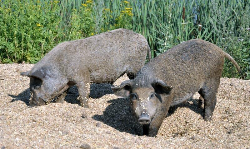 Schweine der mangalica Zucht lizenzfreies stockfoto