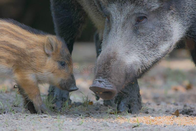 Schweine des wilden Ebers lizenzfreie stockfotografie