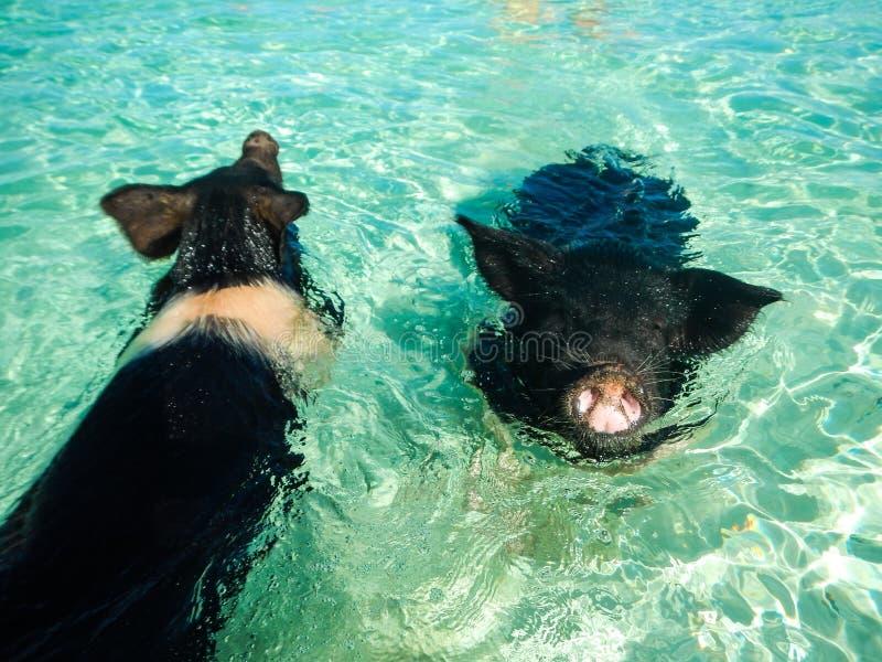 Schweine, die im Meer schwimmen stockfotos