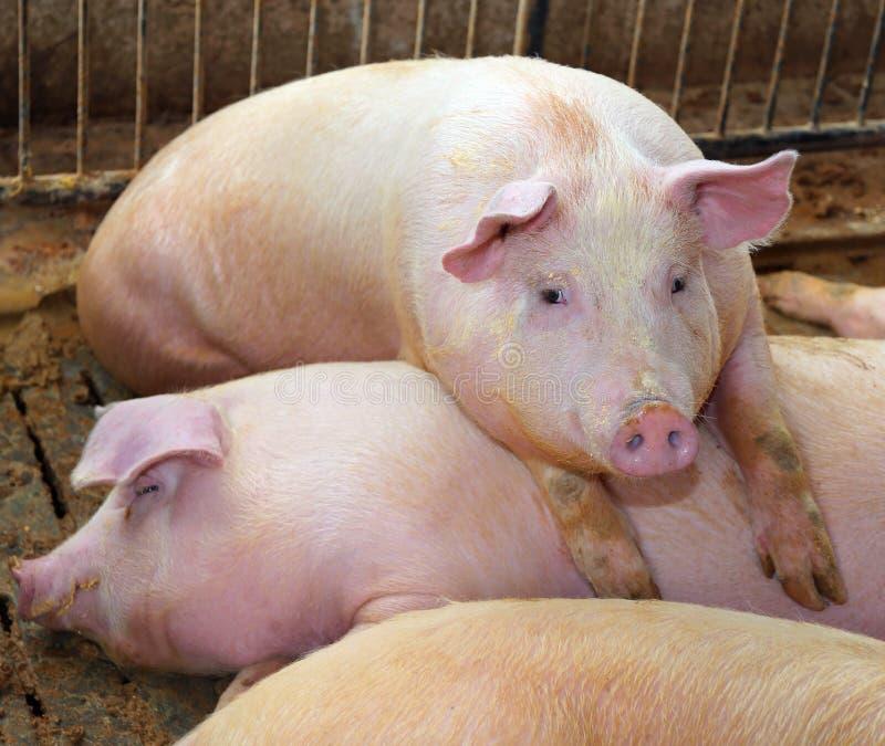 Schweine in einem Schweinestall auf einem Bauernhof stockfotografie