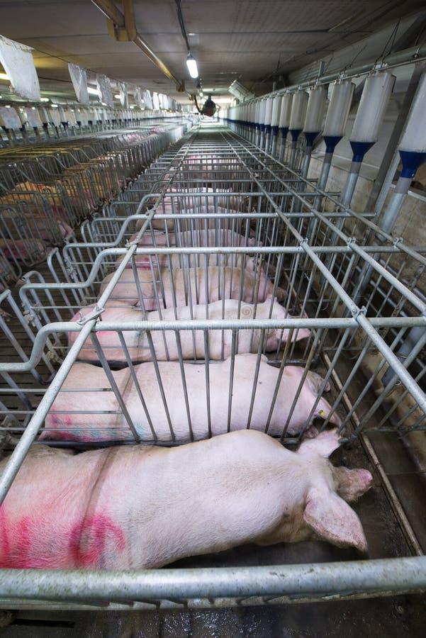Schweine an einer Fabrik stockfotos