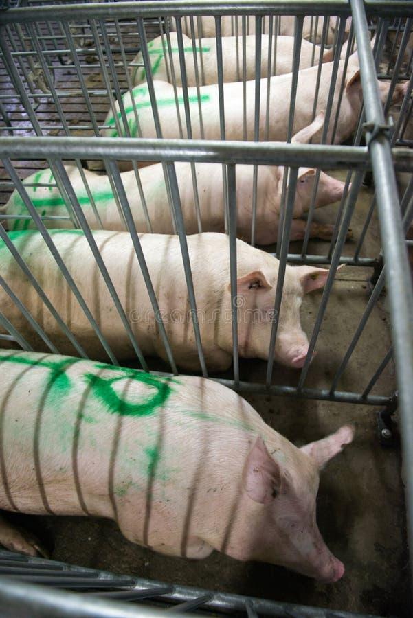 Schweine an einer Fabrik lizenzfreies stockfoto