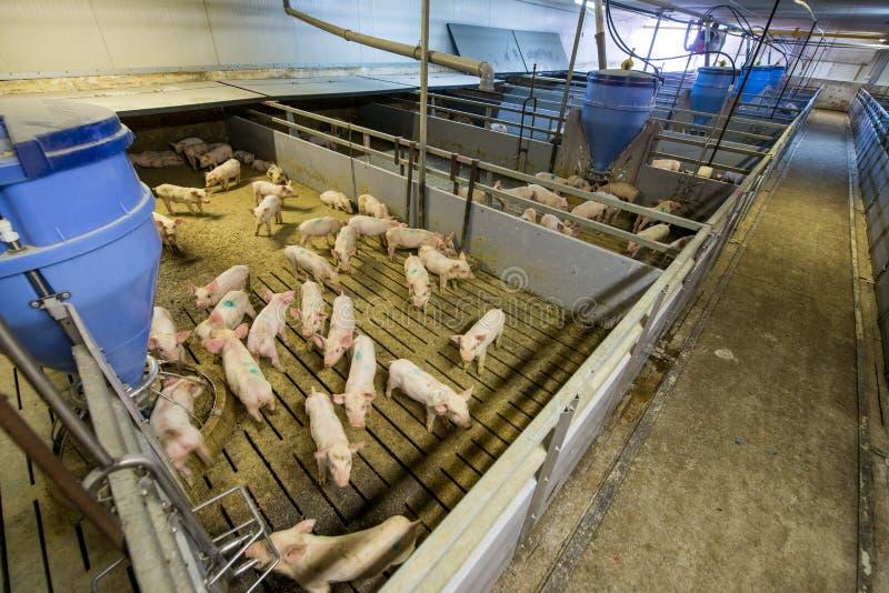 Schweine an einer Fabrik stockfotografie