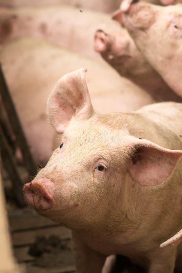 Schweine an einer Fabrik lizenzfreie stockfotos