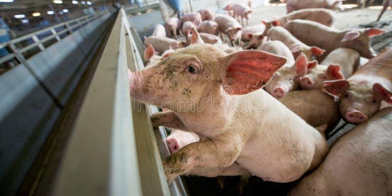 Schweine an einer Fabrik stockbild