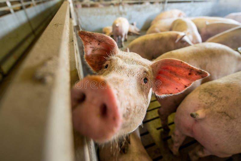 Schweine an einer Fabrik lizenzfreie stockfotografie