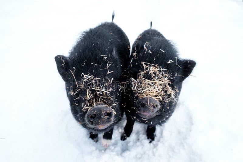 Schweine im Schnee bedeckt mit Stroh lizenzfreie stockbilder