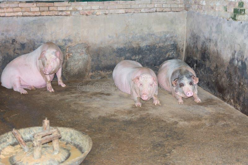 Schweine im Schweinestall stockbilder