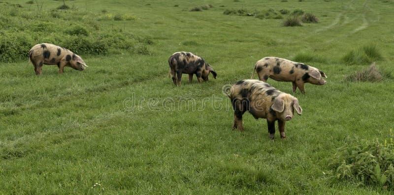 Schweine und Vieh, die in der Wiese weiden lassen stockfoto