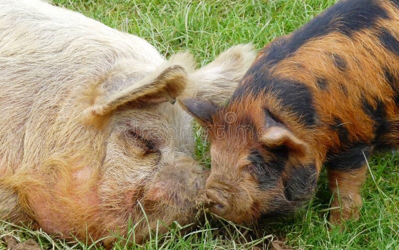 Schweine zusammen lizenzfreie stockbilder