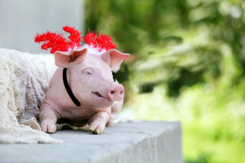 Schweinferkel wenig Feiertagsrotpartei des neuen Jahres der Zucht des weißen Hintergrundes nette glückliche  lizenzfreies stockbild