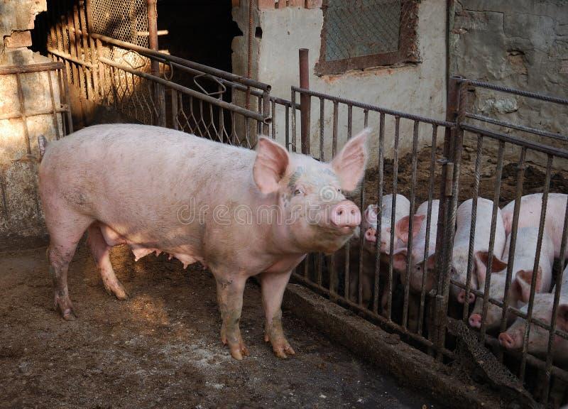 Schweinschweine stockbild