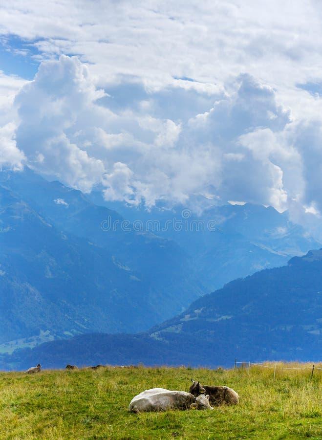 Schweizer Kühe in den Bergen in den Alpen stockbild