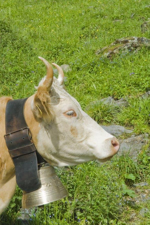 Schweizer Kühe in der hohen Weide stockfoto
