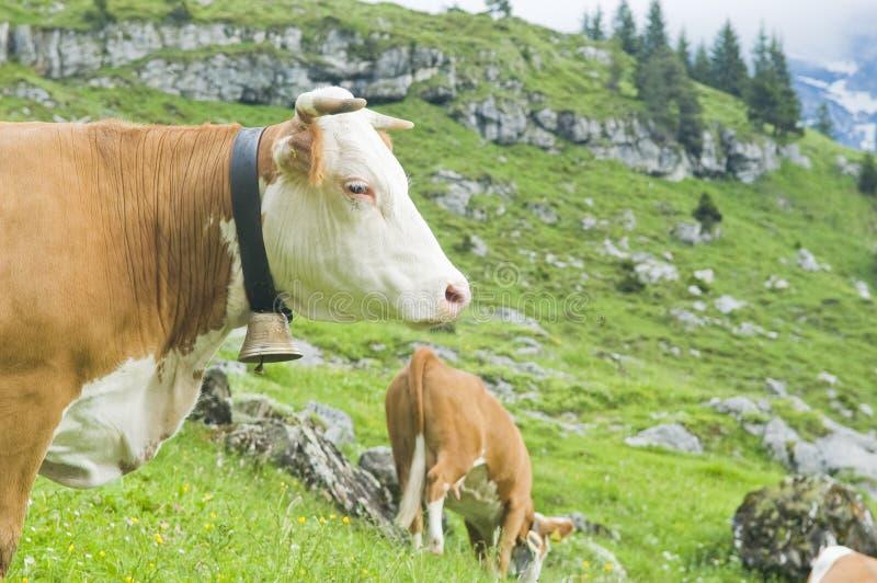 Schweizer Kühe in der hohen Weide stockbild