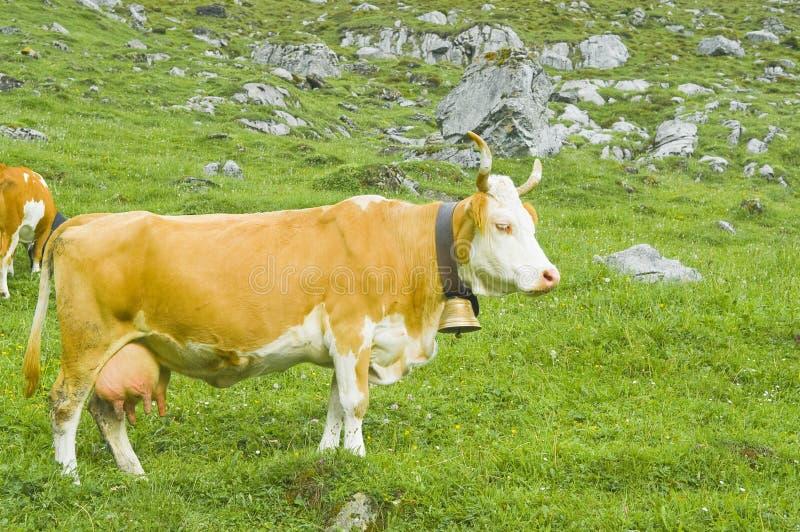 Schweizer Kühe in der hohen Weide lizenzfreie stockfotografie
