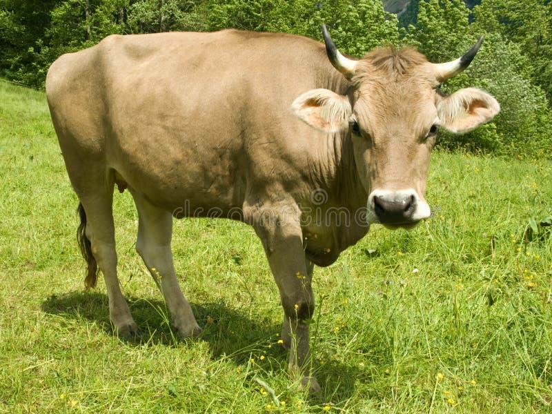 Schweizer Kuh lizenzfreie stockbilder