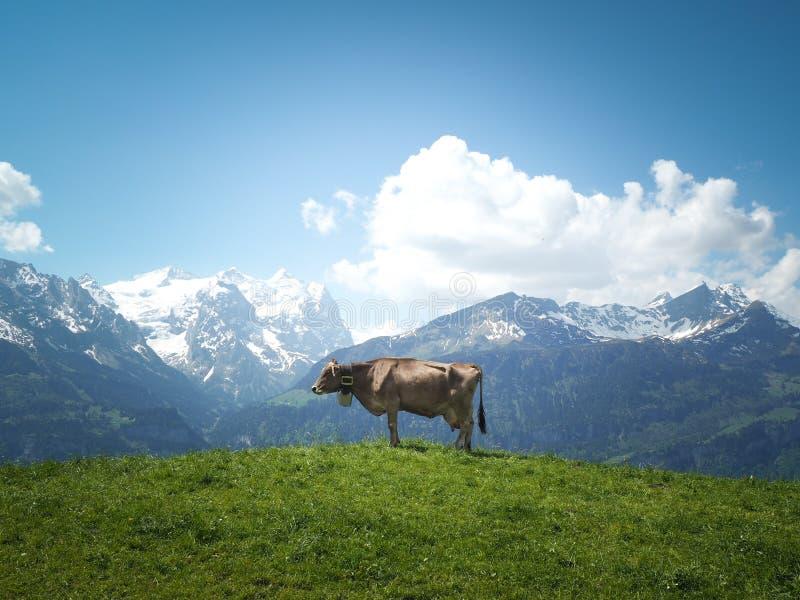 Schweizer Kuh lizenzfreies stockfoto