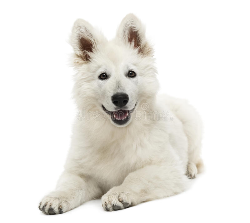 Schweizer Schäfer-Dog-Welpenlügen, keuchend, 3 Monate alte, lokalisiert lizenzfreie stockfotografie