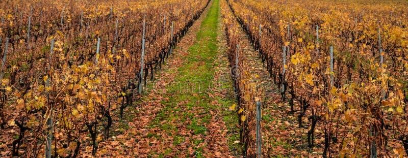 Schweizer Weinberg im Herbst stockfotografie
