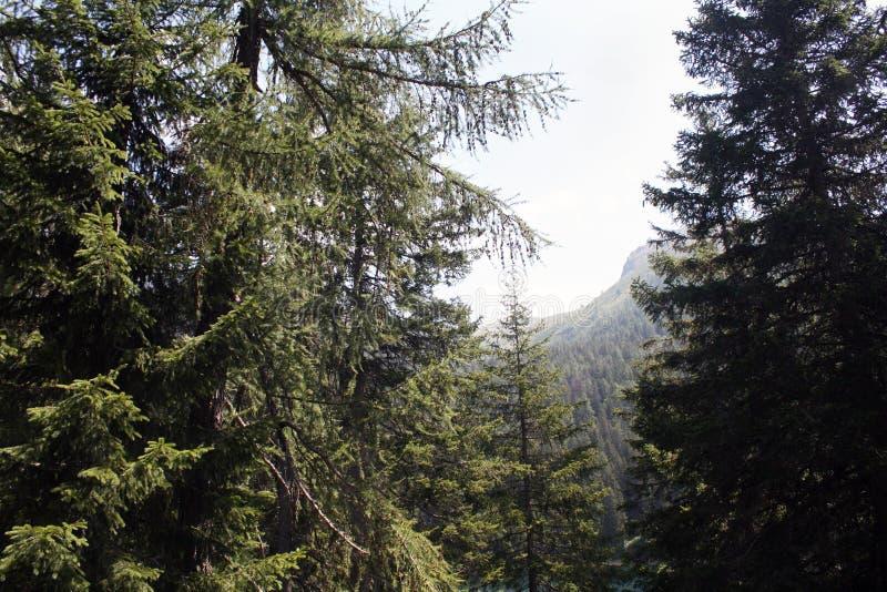 Schweizisk skog i bergfjällängar, sommar switzerland royaltyfri bild