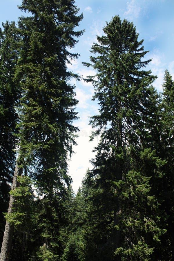 Schweizisk skog i bergfjällängar, sommar switzerland arkivfoto