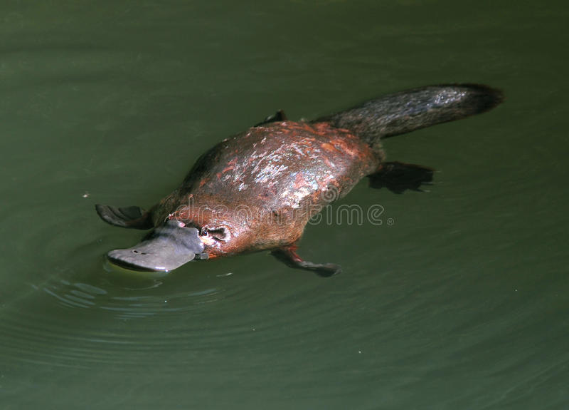 Schwer bestimmbare australische Ente berechnetes platypus, Queensland stockfotos