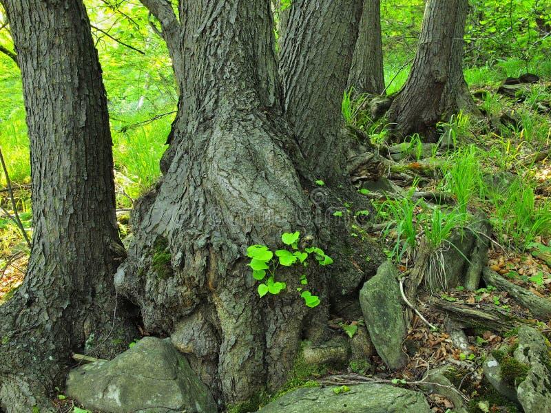 Schwere verwirrte Wurzeln von Bäumen im Park, dunkelbraune oder graue Barke auf Stamm, frisches grünes Gras und Farnstiele lizenzfreie stockbilder