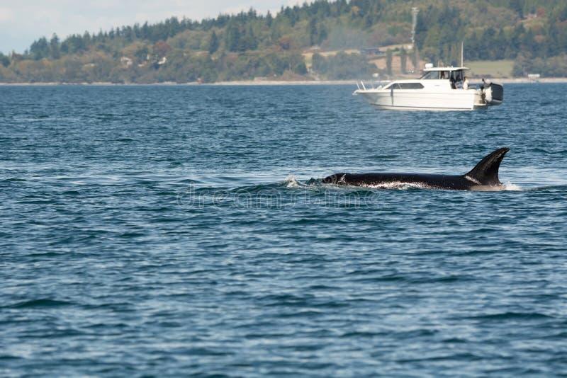 Schwertwal und Boot stockfotografie