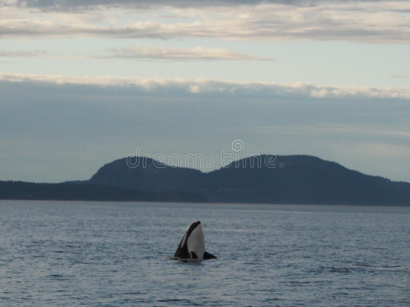 Schwertwal-Wal, der herum schaut stockbilder