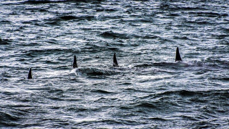 Schwertwale - Seegruppe lizenzfreie stockbilder