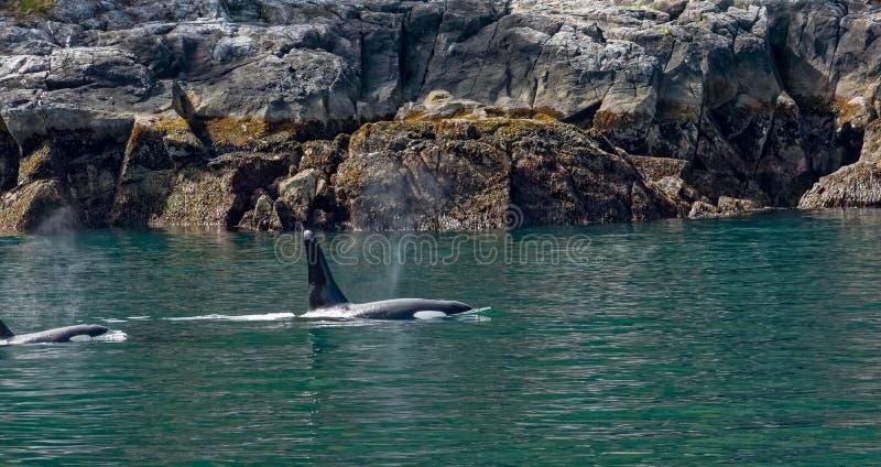 Schwertwalmutter und -kind entlang felsiger Küste lizenzfreie stockfotografie
