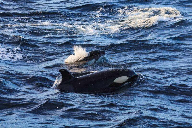 Schwertwalversuchswale genommen an den atlantischen nahen andenes lizenzfreies stockbild