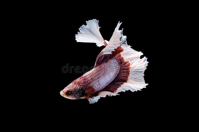 Schwimmen-Aktion von Betta, Siamesischer Kampffisch stockbilder