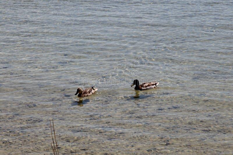 Schwimmen auf die Seewildenten stockbilder
