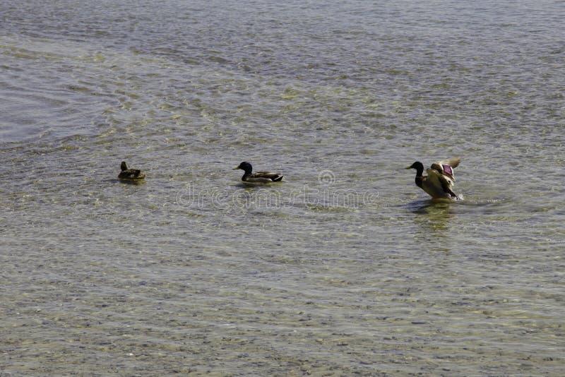 Schwimmen auf die Seewildenten lizenzfreie stockfotos