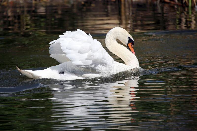 Schwimmen in den Teichhöckerschwan lizenzfreie stockfotografie